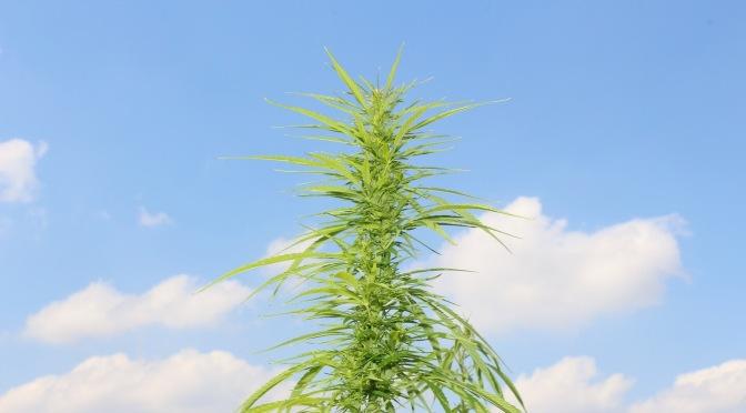 Hanfpflanze unter blauem Himmel mit einigen Wolken