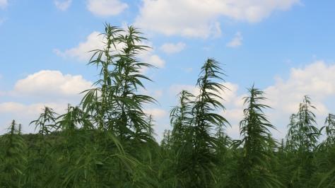 Hanfpflanzen unter blauem Himmel