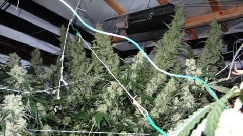 Marihuana kurz vor der Ernte