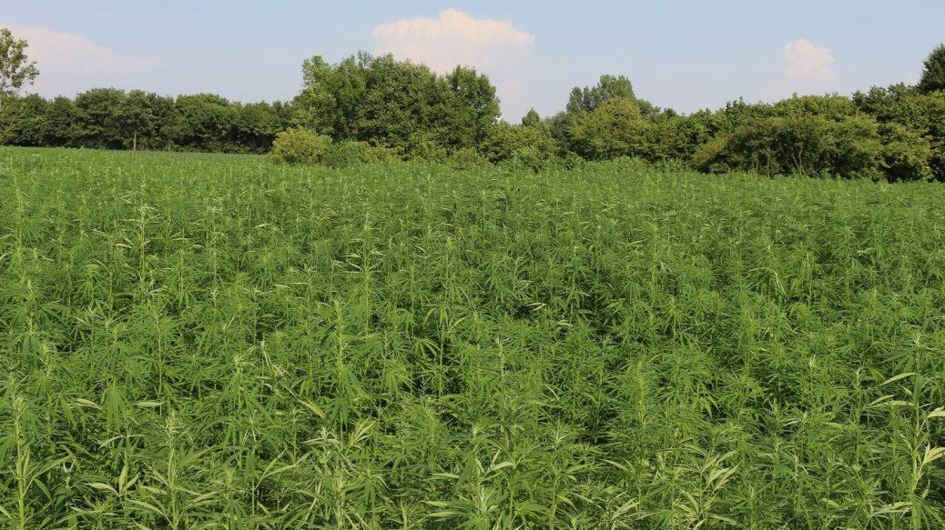 Feld mit Nutzhanf vor einem Wald unter blauem Himmel