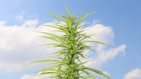 Marihuana outdoor in der Blütenbildung